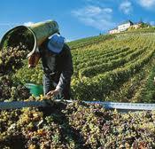 Виноградники в Эльзасе